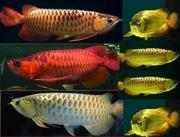 TOP QUALITY SUPER RED AROWANA FISH AND MANY OTHERS FOR SALE.