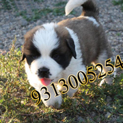 Saint Bernard @discounted price on this holi .9313005254